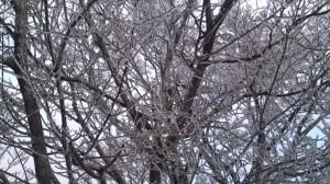 冬のさくら5