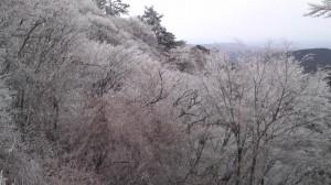 冬のさくら4